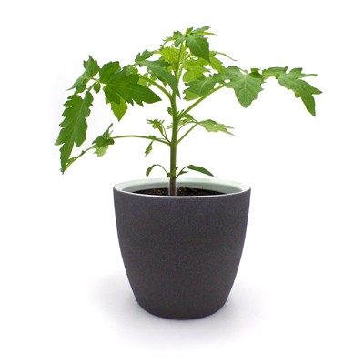 Tomatenjungpflanze