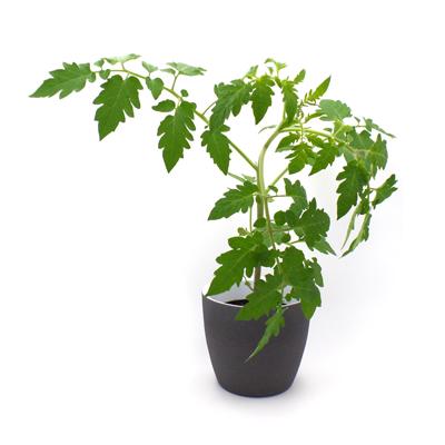Tomatenjungpflanze Dorenia  (Strauchtomate)  im Topf