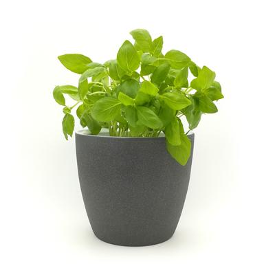 Basilikum, grün im Topf