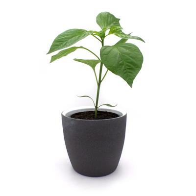 Paprikajungpflanze Pantos Bingenheim rot, spitz im Topf