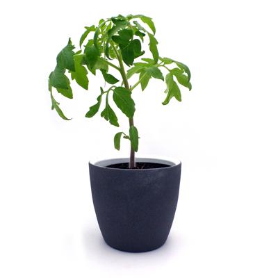 Tomatenjungplanze Berner Rose (Fleischtomate) im Topf